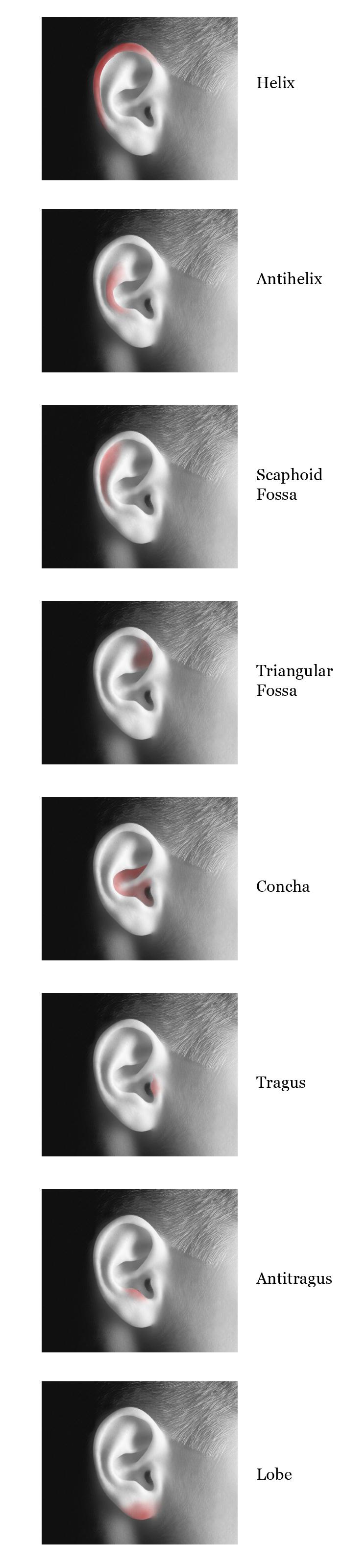 external ear anatomy at Anatomy and Art