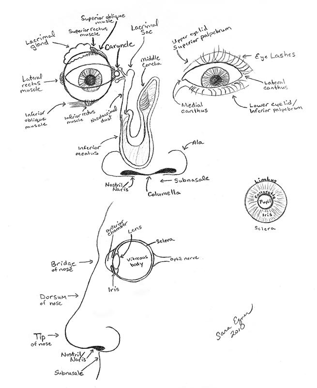 Eyes Anatomy Drawing to 'eye And Nose Anatomy'