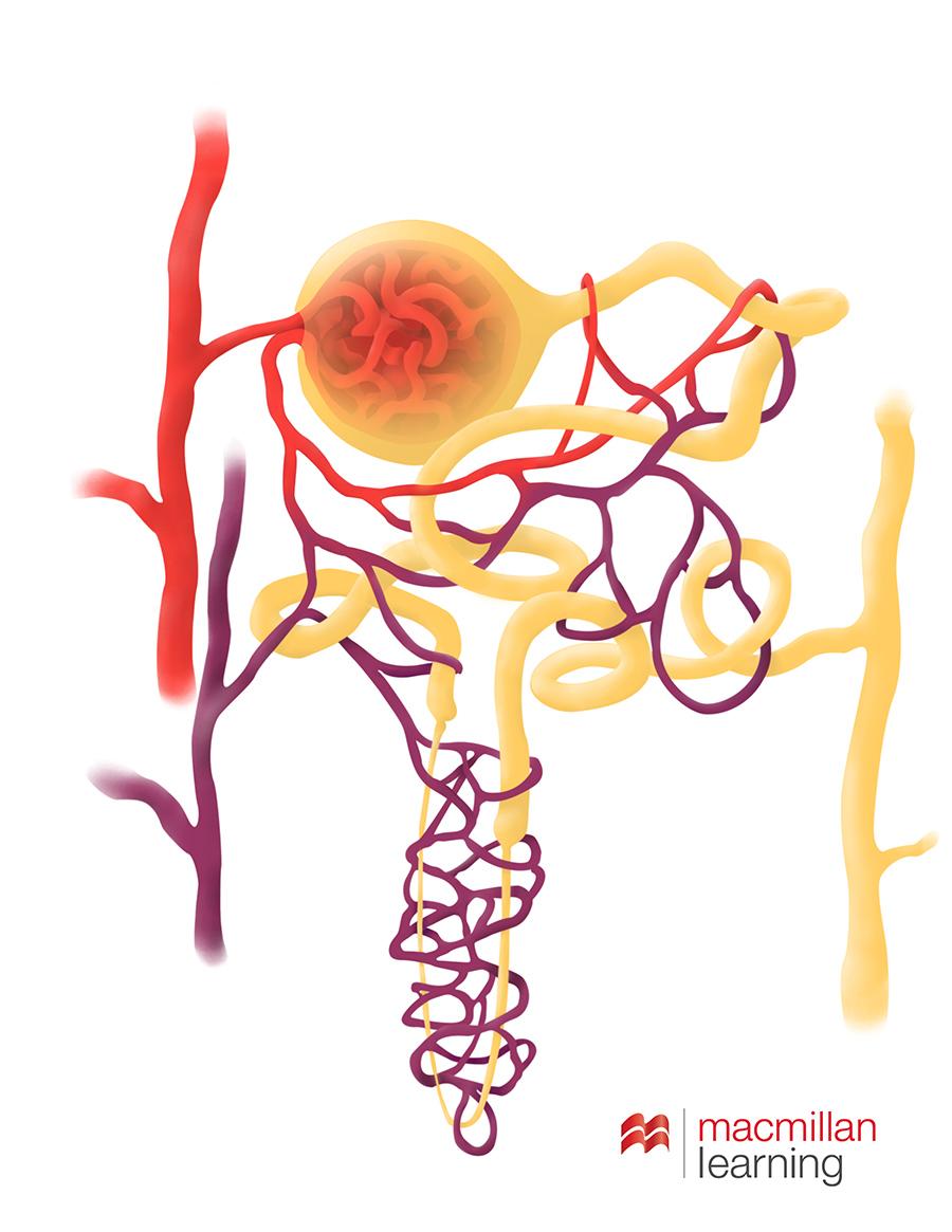 Nephron Anatomy at Anatomy and Art